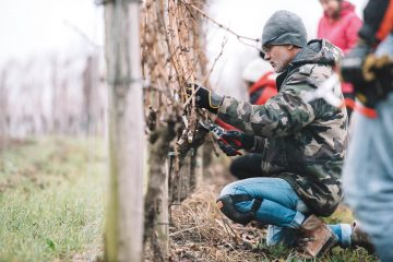 The world's first master's degree in grapevine pruning in Bordeaux