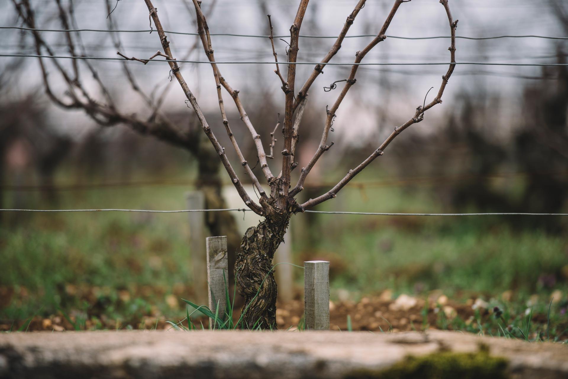 Guyot | Domaine Leroy | Romanée Saint Vivant | Bourgogne