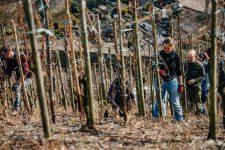 Tutoraggio in vigneto, squadra Selbach Oster, Mosel, Germany