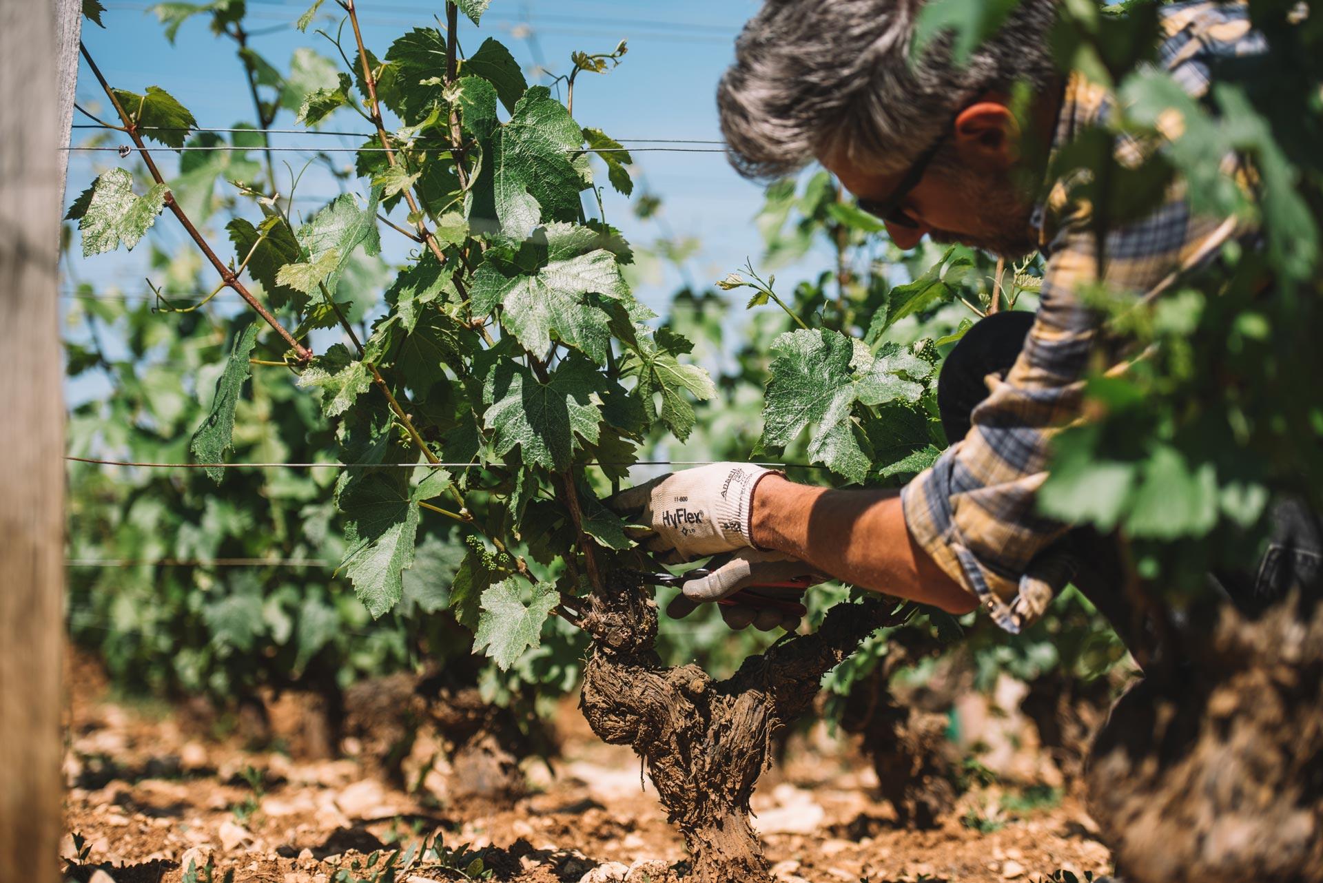 Spring training | Domaine Leroy | Montrachet | Bourgogne
