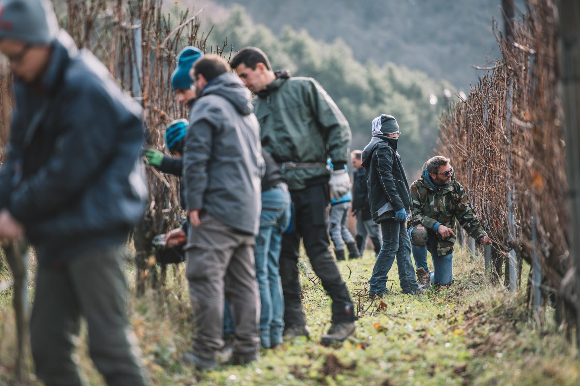Training for winter pruning of the Guyot | Ferrari | Trento