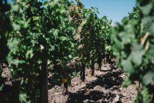 Guyot medoc, esca disease appearance | Pauillac vineyards | Bordeaux