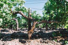 Guyot after treatment | Pauillac vineyards | Bordeaux
