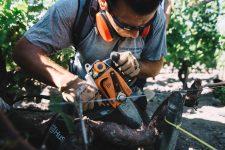 Vine surgery practice | Pauillac vineyards | Bordeaux