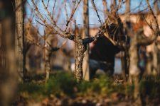 Guyot | Schiopetto | Collio | Friuli Venezia Giulia