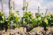 Spring training | Château d'Yquem | Sauternes | Bordeaux