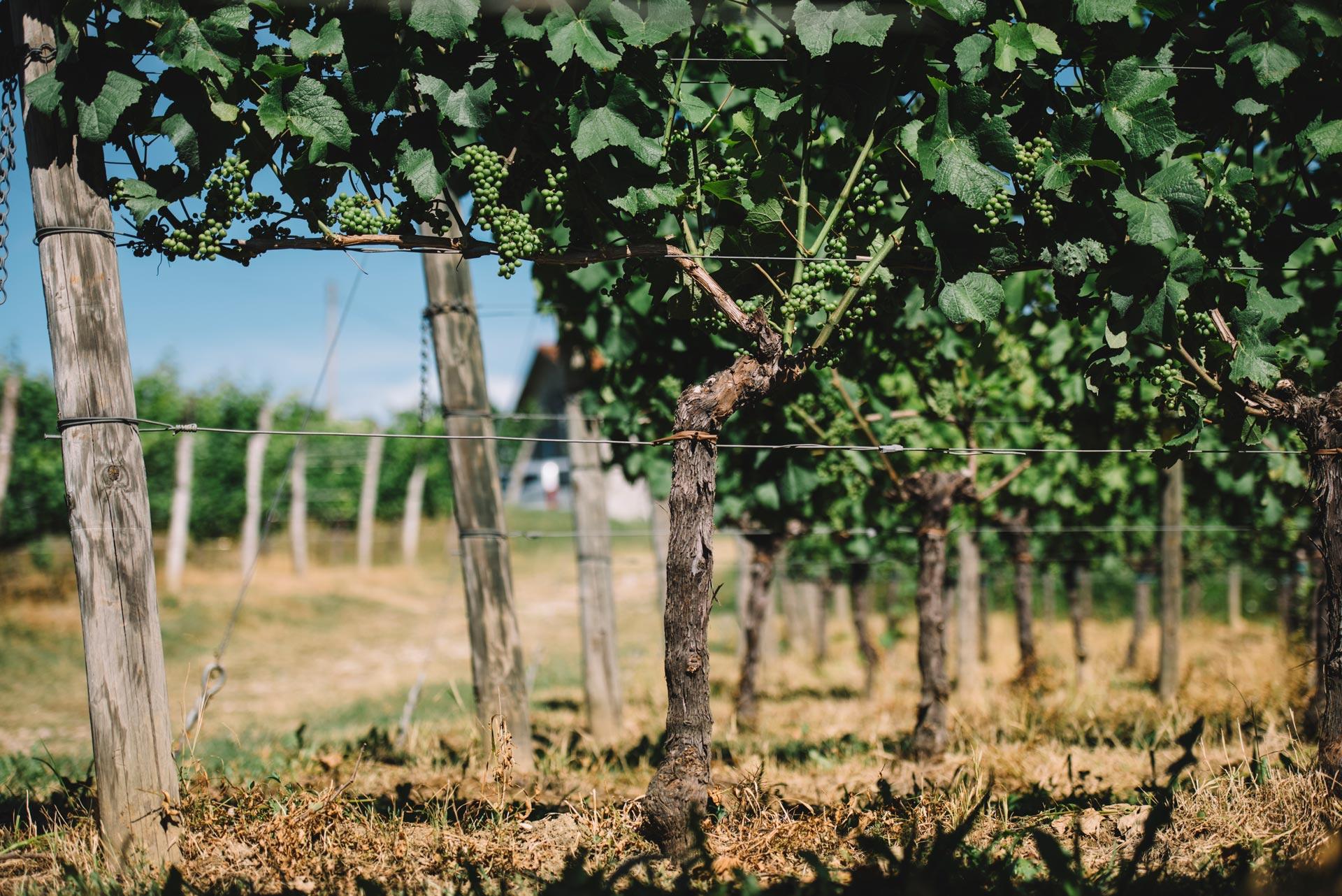 Guyot singolo | Schiopetto | Collio | Friuli Venezia Giulia