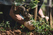 Brush clearing | Domaine Leroy | Richebourg | Bourgogne