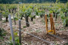Cleft-grafting | Château Pontet-Canet | Pauillac | Bordeaux